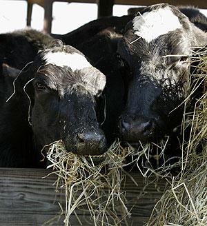 Dos vacas clonadas comen en una granja de Maryland, EEUU. (Foto: AP)
