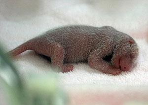 Uno de los cuatro pandas que nacieron el pasado fin de semana. (Foto: REUTERS)