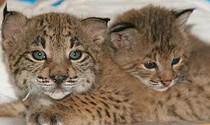 Dos linces nacidos en cautividad. (Foto: Programa de cría en cautividad)