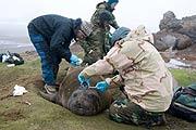 Científicos pegan el sensor en la piel de un elefante marino. (Foto: PNAS)