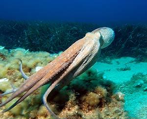 Ejemplar de 'Octopus vulgaris'. (Foto: Wikipedia Commons)