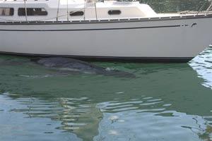 'Colin', la cría de ballena jorobada perdida, lleva varios días lejos de su madre y se encuentra debilitada. (Foto: EFE)