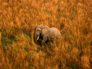 Elefante solitario en la sabana de Garamba. (Foto: Nuria Ortega)