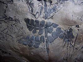Uno de los fósiles del interior de la mina. (Foto: Howard Falcon-Lang)