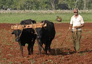 Un campesino labra la tierra con la ayuda de un arado y dos bueyes. (Foto: AP)