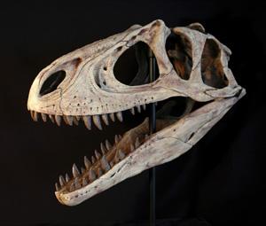 Cráneo del dinosaurio carnívoro descubierto en Mendoza (Argentina). (Foto: REUTERS)