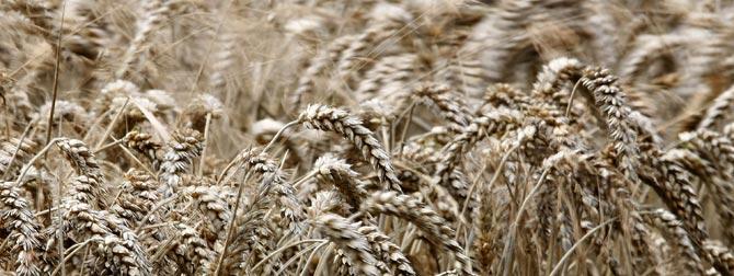 Un campo de trigo de Cheshire, en el norte de Reino Unido. (Foto: REUTERS / Phil Noble).