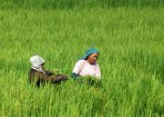 Dos agricultoras trabajan en un arrozal en el distrito de Bhakatapur, a las afueras de Katmandú (Nepal). (Foto: EFE/Narendra Shrestha).