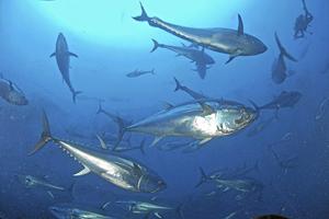 Un banco de atunes rojos nadan en el mar Mediterráneo. (Foto: WWF/Manu San Félix).