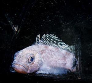 """La especie de """"pez anticongelante"""" 'Trematomus hansoni', capaz de vivir a temperaturas bajo cero. (Foto: Christina Cheng and Kevin Hoefling)"""