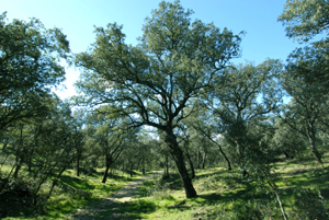 Un bosque de encinas en el Monte del Pardo. (Foto: MARGA ESTEBARANZ)