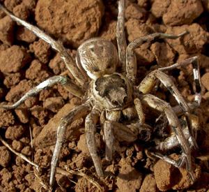 Hembra de tarántula mediterránea lycosa tarántula devorando al macho. (Foto: Eva De Mas)