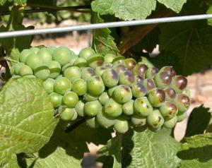 Racimo de uva afectado por una elevada radiación solar, que sin embargo permanece inmaduro. (Foto: Vicente Sotés)