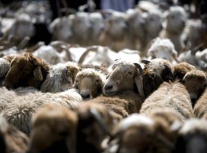 El consumo de carne en China ha disparado su huella ecológica. En la imagen, ovejas en el mercado de ganado de Kashgar. (Foto: Diego Azubel)