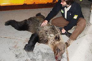 Cuerpo sin vida del animal atropellado. (Foto: Fundación Oso Pardo)
