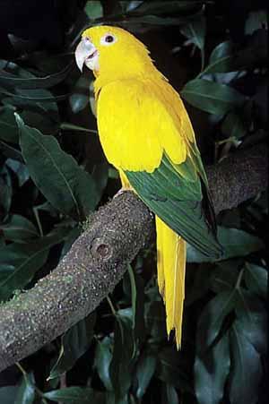 El arara juba ('Guaruba guarouba'), considerado el ave nacional, es una de las más de 600 especies que corren serio peligro de desaparecer. (Foto: AFP)