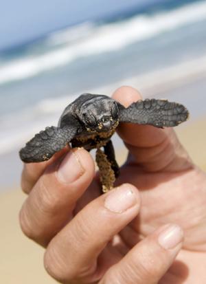 Una de las 42 tortugas bobas que han nacido en la playa de Cofete del Parque Natural de Jandía, en Fuerteventura. (Foto: EFE/Carlos de Saá).
