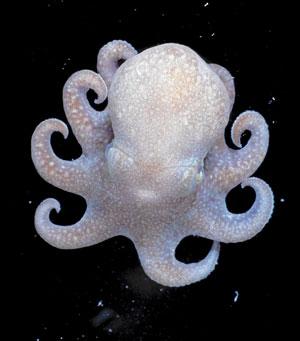 La especie 'Megaleledone setebos' es endémica de las aguas circunantárticas superficiales, en el Océano Austral. Se trata del pariente vivo más cercano a los pulpos de aguas profundas. (Foto: Census of Marine Life)