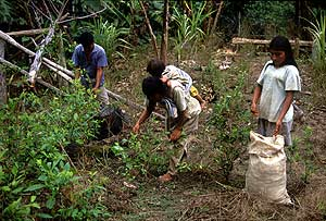 Cultivadores de hoja de coca. (Foto: WALTER SILVERA)