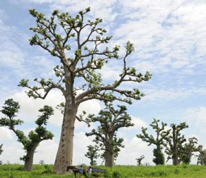 Baobabs, una especie de árbol que sólo existe en África (Foto: REUTERS)
