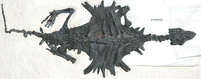 Fósil completo de uno de las tortugas primitivas 'Odontochelys' encontradas en China. (Foto: 'Nature')