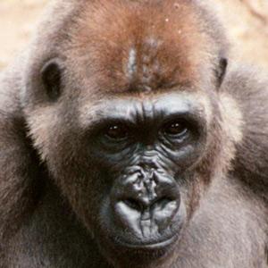 El gorila del río Cross, el más amenazado de los grandes simios. (Foto: Wildlife Conservation Society)