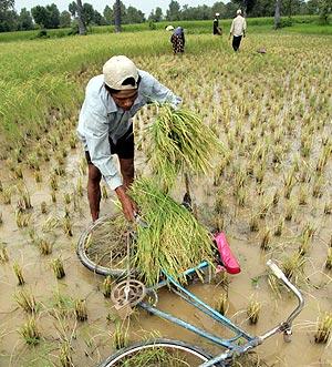 Un agricultor recoge la cosecha en un arrozal de Takeo, en Camboya. (Foto: EFE)