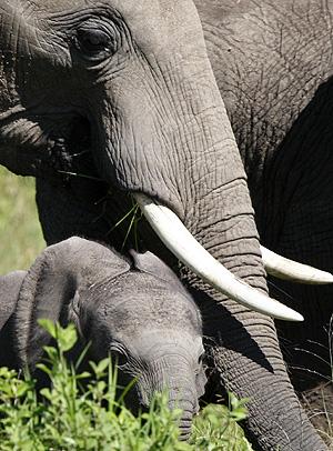 Elefantes en la reserva Masai Mara. (Foto: Lazslo Baloh/ Reuters)