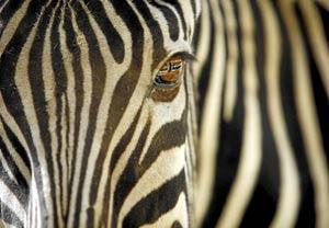 Primer plano de una cebra común ('Equus quagga'). / AP / JOHN MCCONNICO