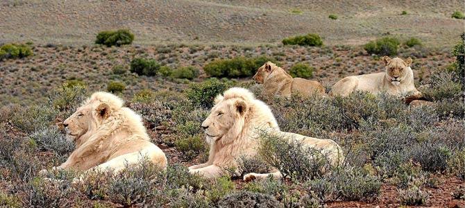 Un grupo de leones blancos descansa en la reserva natural de Anbona (Suráfrica). / EFE / LIESL EICHENBERGER