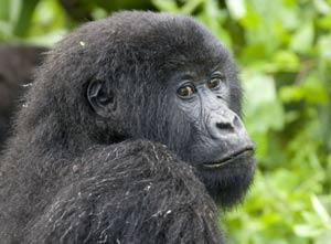 Un gorila en el Parque Nacional de Virunga (República Democrática del Congo). (Foto: REUTERS)