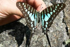 Una de las tres nuevas especies de mariposas descubiertas en Mozambique. (Foto: Julian Bayliss/Kew)