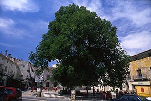 Olma de Pareja, en Guadalajara, premiada como Árbol Cuidado. (Foto: Bosques sin Fronteras)