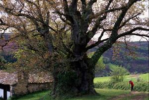 El roble Valentín, de Tineo, Asturias, premiado como Árbol Gigante. (Foto: Bosques sin Fronteras)