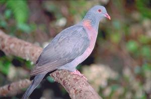 Una paloma turqué ('Columba bollii'), una de las especies con las que se ha probado la nueva técnica de análisis. (Foto: A. Martín/CSIC)