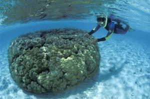 Otro buceador, durante la investigación del deterioro de la Gran Barrera. (Foto: Science)