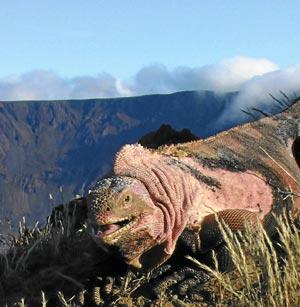 Ejemplar de la iguana descubierta en el volcán Lobo de la isla Isabela, en las Galápagos. (Foto: PNAS)