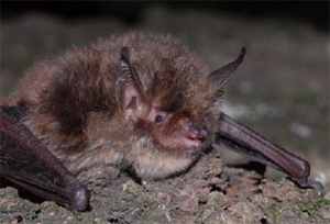 El murciélago de bigotes pequeños. (Foto: Gencat)