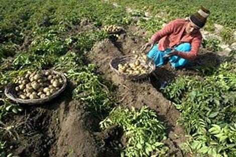 Una agricultora india recoge patatas en una granja de Amritsar, al norte de la India. (Foto. EFE)