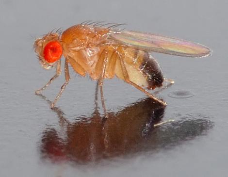 Un ejemplar de la mosca 'Drosophila melanogaster'. (Foto: André Karwath).