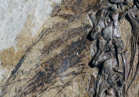 Fósil del 'Beipiaosaurus inexpectus' hallado en China. (Foto: 'PNAS')