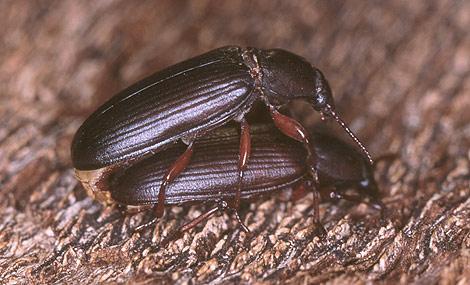 Dos de los escarabajos estudiados. (Foto: J. M. S.)