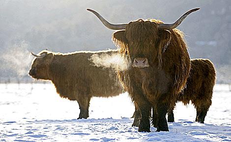 Ganado escocés resistiendo el frío invernal. (Foto: REUTERS)
