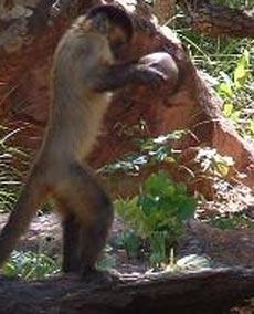 Un mono capuchino intenta abrir una nuez con una piedra. (Foto: E. Visalberghi)