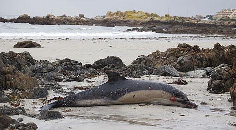 Un delfín muerto en la costa gallega a consecuencia del temporal que azota la cornisa cantábrica.   EFE