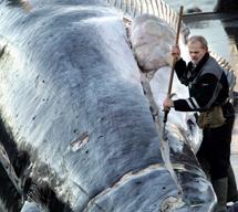 Un hombre descuartiza un rorcual común en Islandia. (Foto: AP).