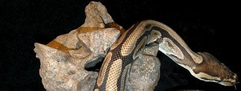 Una boa actual, sobre la vértebra de la serpiente prehistórica.   Nature