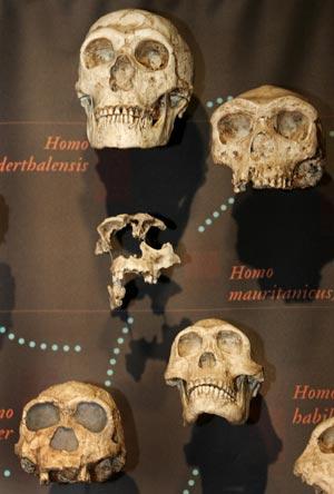 Cráneos de homínidos expuestos en el Museo de Historia Natural de Nueva York. | AFP