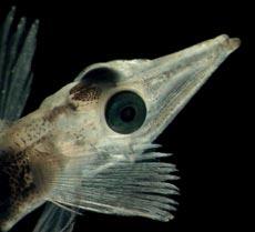 'Chionodraco hamatus', un pez del hielo de la Antártida. (Foto: Russ Hopcroft /COLM)