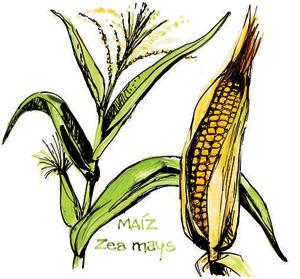 Planta y fruto del maíz. (Ilustración: Arturo Asensio)